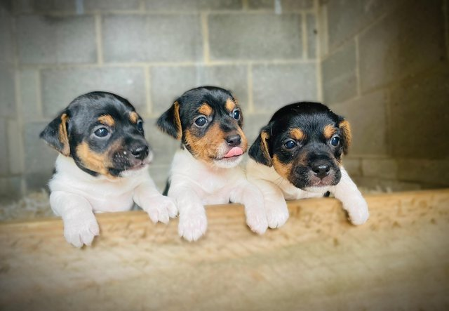 Preview of the first image of Short legged Jack Russell puppies.