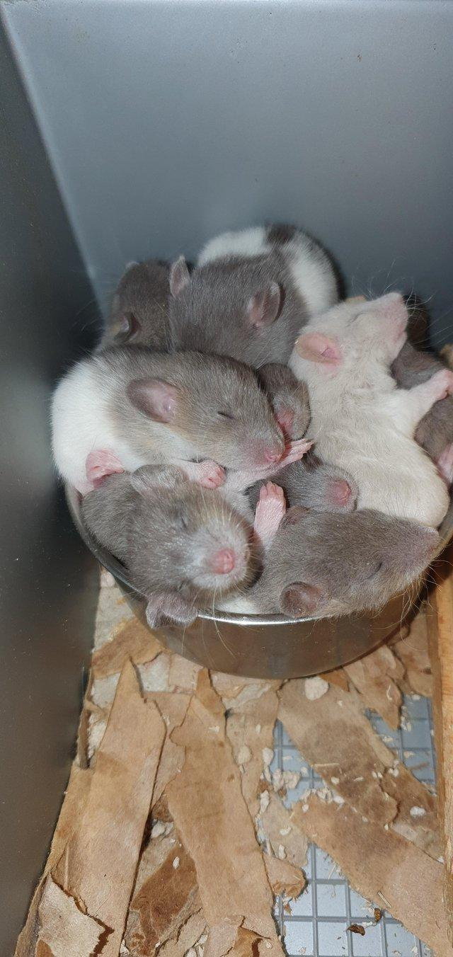 Preview of the first image of Tame Young/baby rats for sale (guaranteed tame).