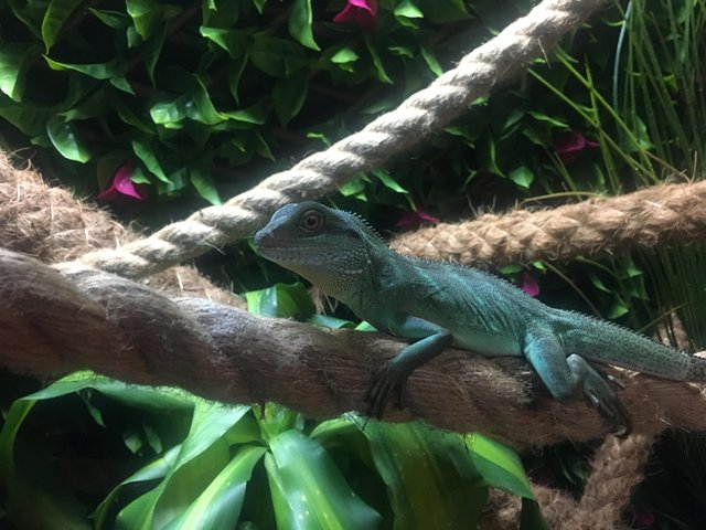 Preview of the first image of 8 month old CB20 CWD (chinese water dragon) for sale.