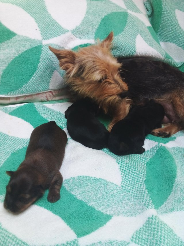 Preview of the first image of Yorkshire terrier puppies for sale.