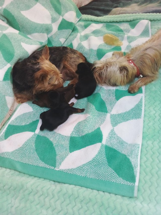 Image 2 of Yorkshire terrier puppies for sale