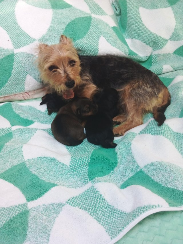 Image 3 of Yorkshire terrier puppies for sale