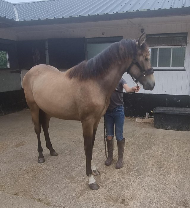 Image 2 of Stunning PRE Fusion Dun Yearling Filly