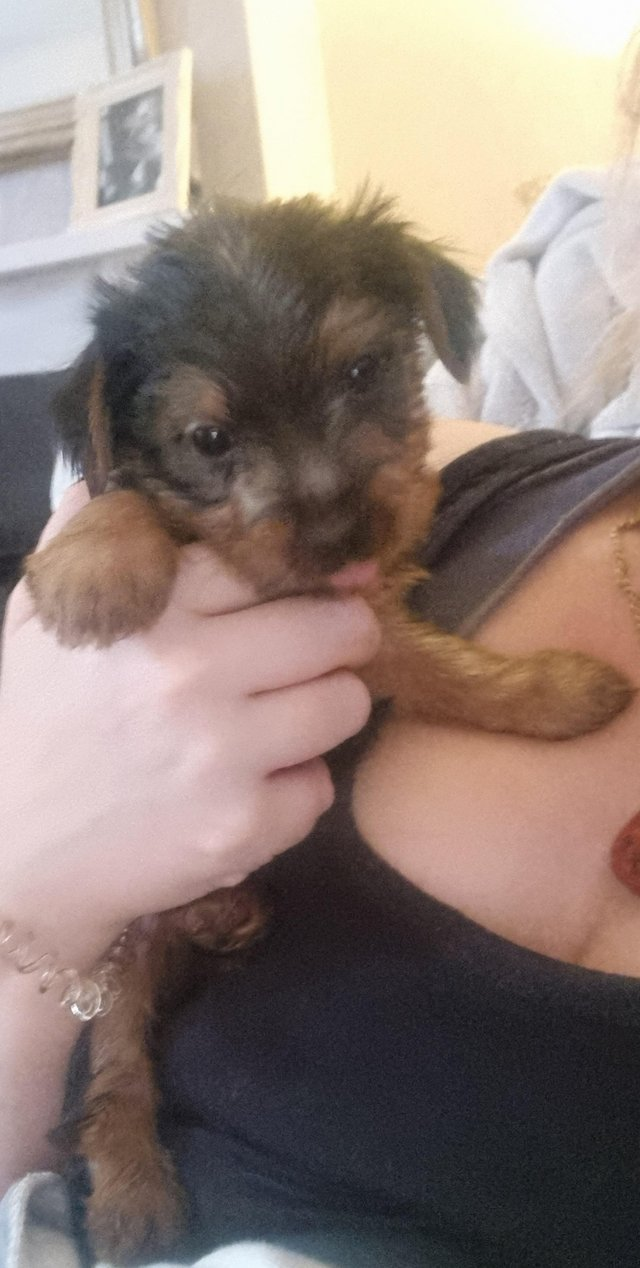 Image 4 of Two male Yorkshire Terrier puppies for sale