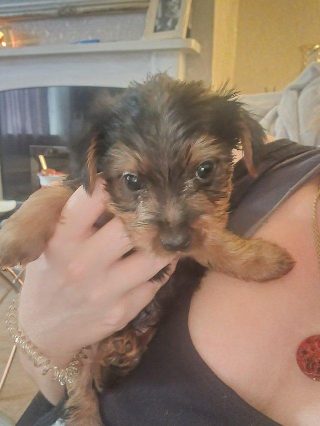 Image 5 of Two male Yorkshire Terrier puppies for sale