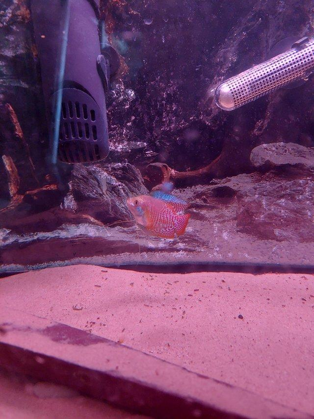 Image 2 of Read add** Male and female dwarf gourami for sale