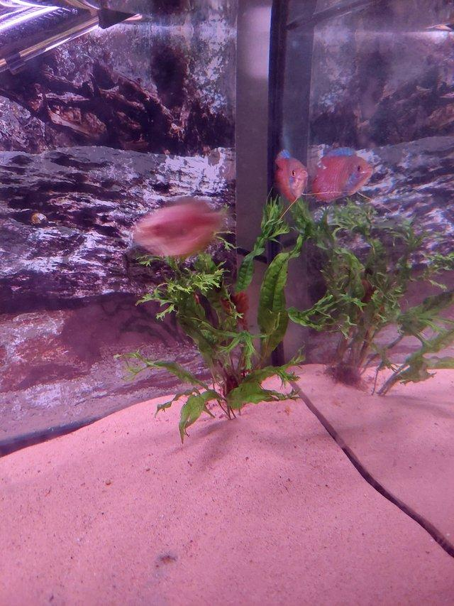 Image 3 of Read add** Male and female dwarf gourami for sale