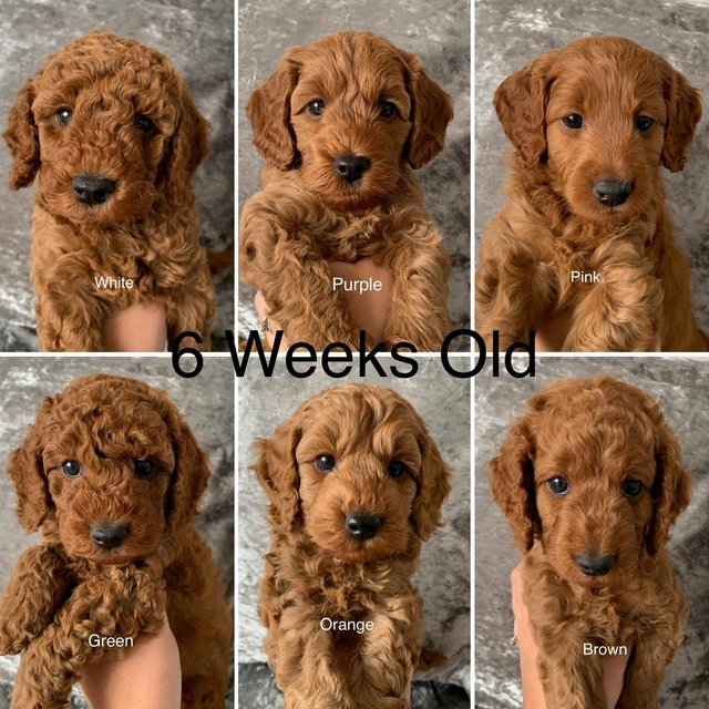 Image 14 of Kennel Club registered Red miniature poodle for stud