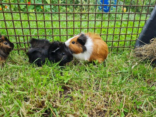 Image 2 of Guinea pig sows ready for new homes