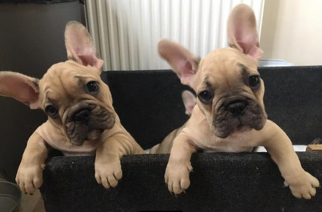 Image 3 of Amazing KC French bulldog puppies READY NOW