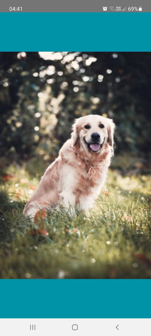 Preview of the first image of Kc registered fully vaccinated Golden Retrievers.