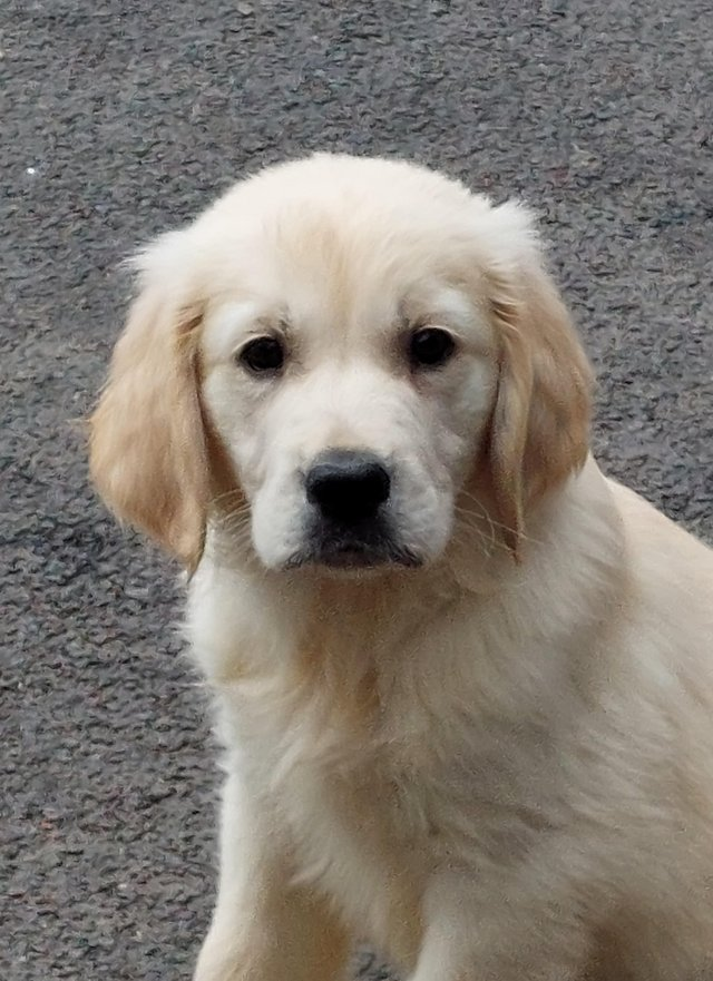 Image 2 of Kc registered fully vaccinated Golden Retrievers