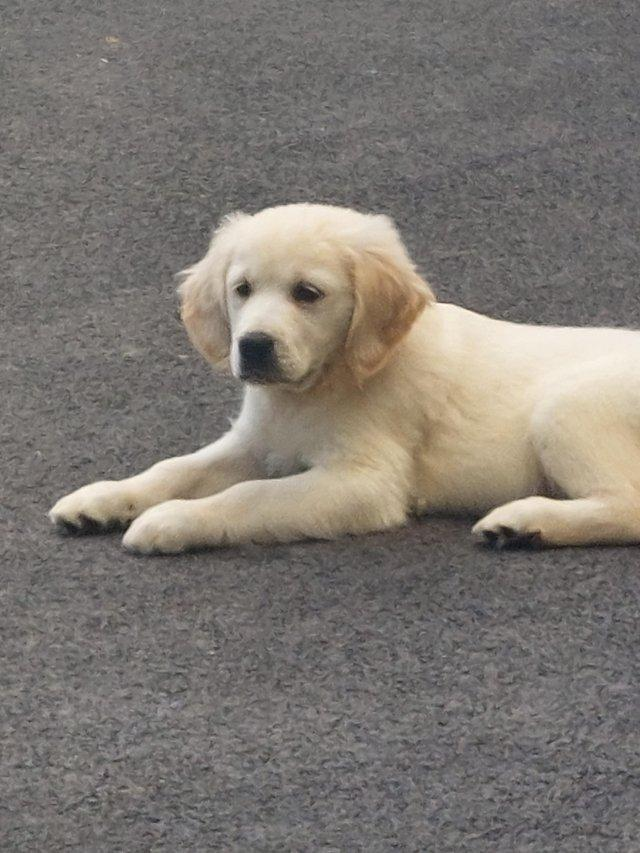 Image 3 of Kc registered fully vaccinated Golden Retrievers