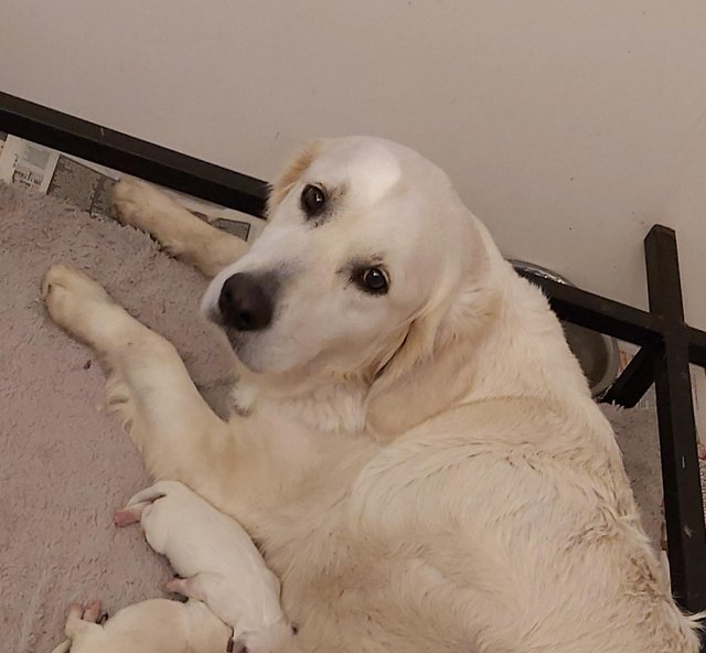 Image 4 of Kc registered fully vaccinated Golden Retrievers