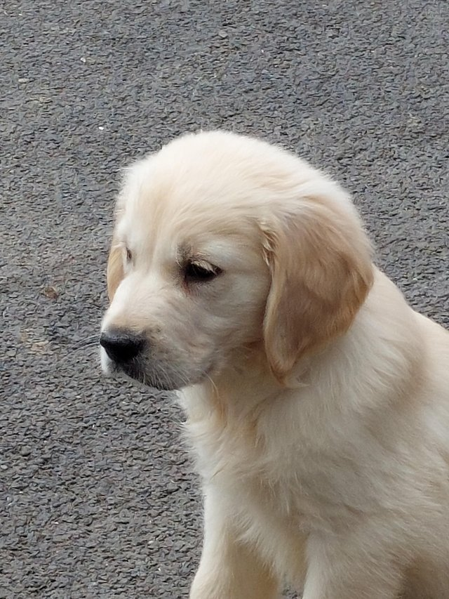 Image 5 of Kc registered fully vaccinated Golden Retrievers