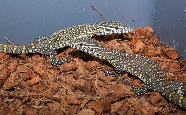 Image 6 of Monitors/Tegus and MORE ....Available now !!!