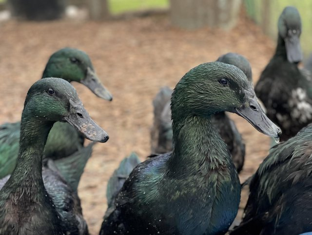 Image 3 of Pairs of Top Quality Purebred Cayuga Ducks