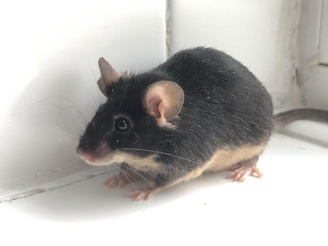 Image 5 of Adult mice. Males must be kept solo