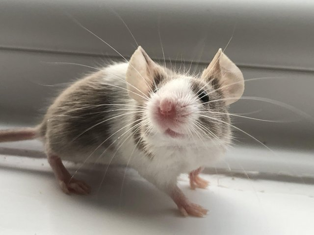 Preview of the first image of Adult mice. Males must be kept solo.