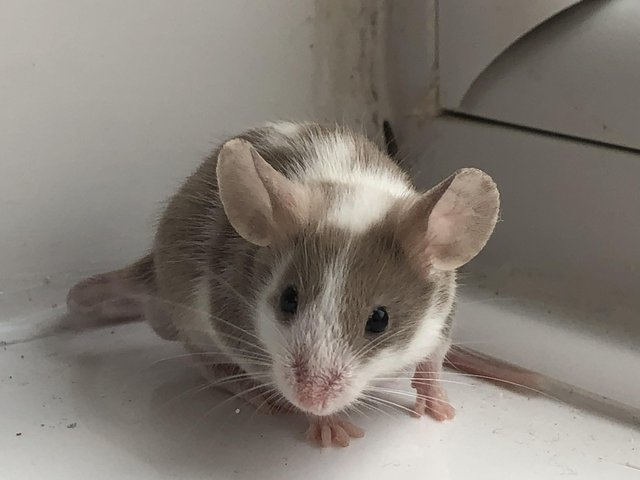 Image 8 of Adult mice. Males must be kept solo