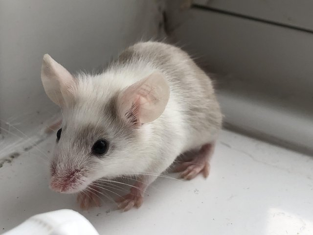 Image 9 of Adult mice. Males must be kept solo