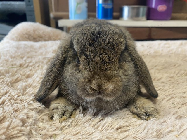 Preview of the first image of 10 week old Mini Lop Rabbits RTL.