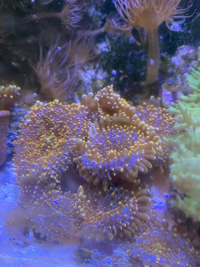 Preview of the first image of Mushroom corals x2   lovely orange.