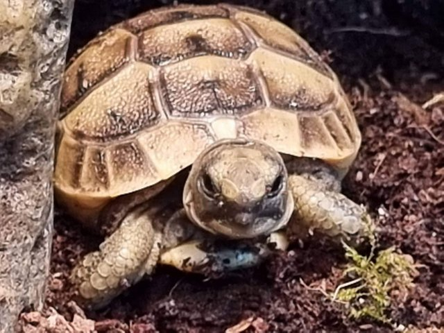 Image 2 of Mediterranean spurthigh yearling tortoises for sale