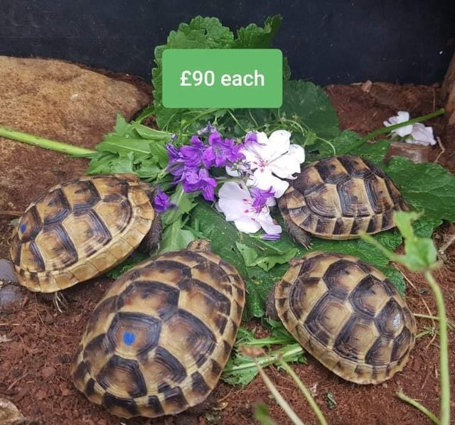 Image 3 of Mediterranean spurthigh yearling tortoises for sale