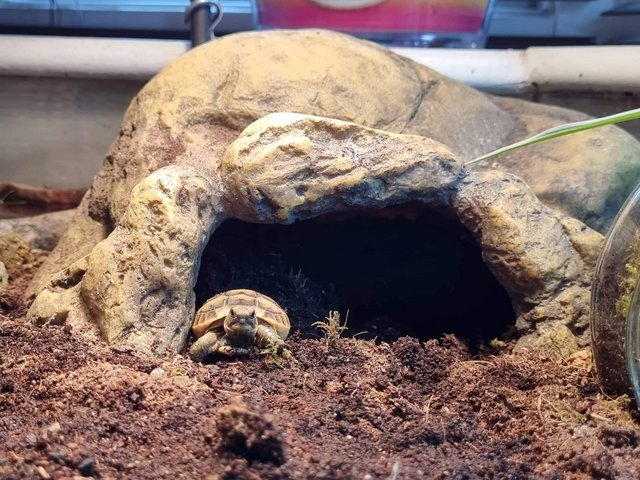 Image 4 of Mediterranean spurthigh yearling tortoises for sale