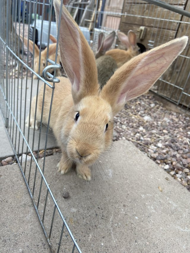 Preview of the first image of Baby continental giant rabbits.