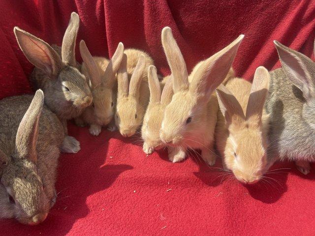 Image 2 of Baby continental giant rabbits