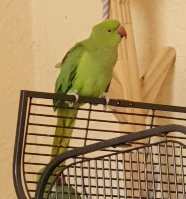Image 3 of Female Indian Ringneck 2 year's old