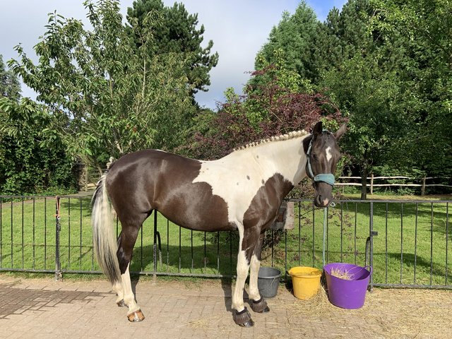 Preview of the first image of 15.2hh mare for share, Chaldon..