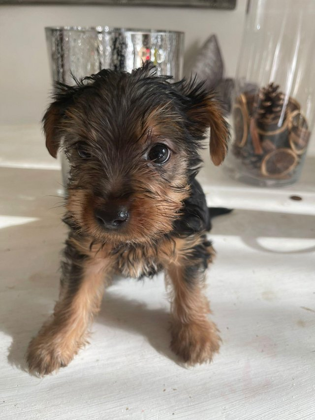 Image 6 of Two male Yorkshire Terrier puppies for sale