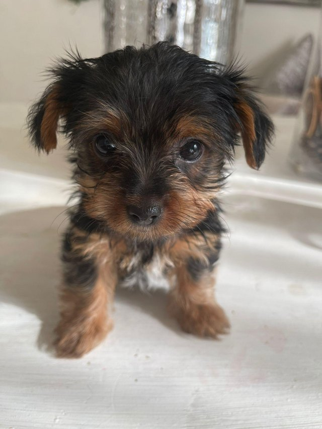 Image 7 of Two male Yorkshire Terrier puppies for sale