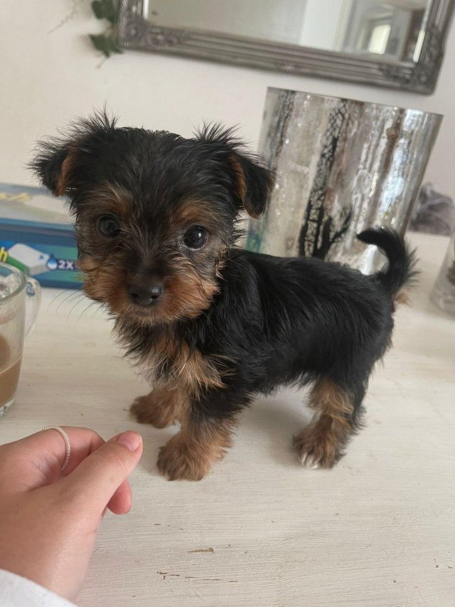 Preview of the first image of Two male Yorkshire Terrier puppies for sale.