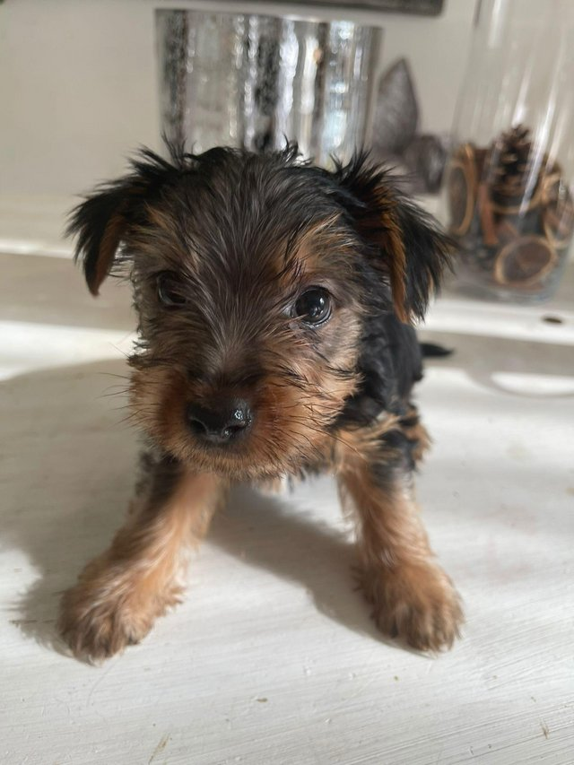 Image 9 of Two male Yorkshire Terrier puppies for sale