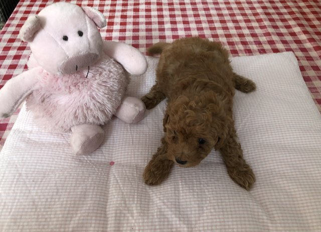 Image 9 of Super Tiny toy poodle puppies.