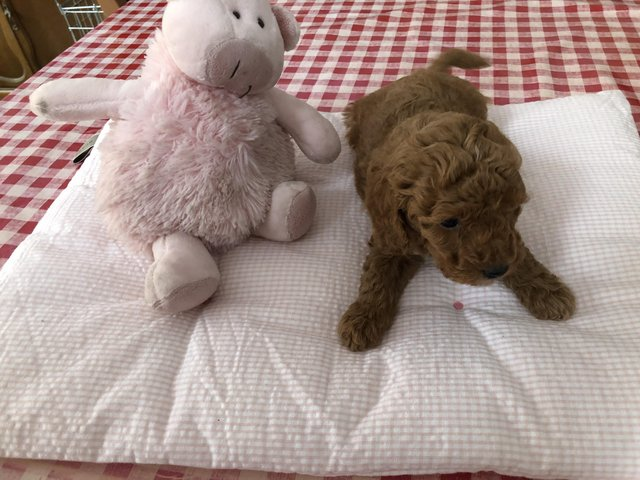 Image 10 of Super Tiny toy poodle puppies.