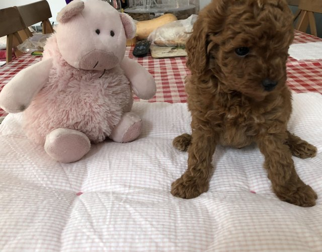 Image 11 of Super Tiny toy poodle puppies.