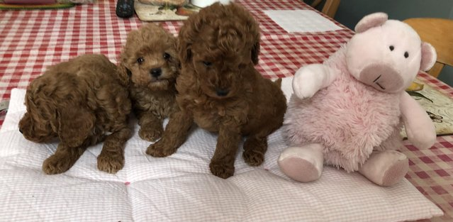 Image 12 of Super Tiny toy poodle puppies.