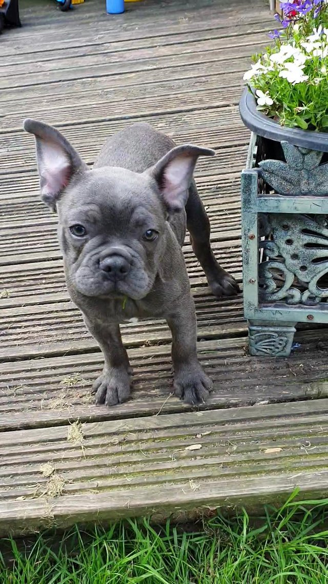 Preview of the first image of Blue French bulldog puppy. Ready to leave..