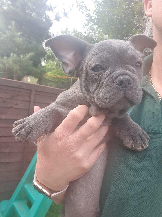 Image 2 of Blue French bulldog puppy. Ready to leave.