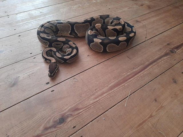 Image 2 of Ball Python - Three Years old for sale