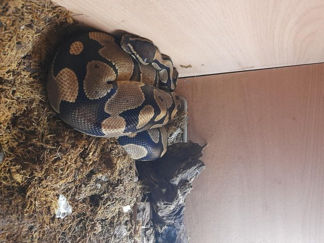 Image 3 of Ball Python - Three Years old for sale