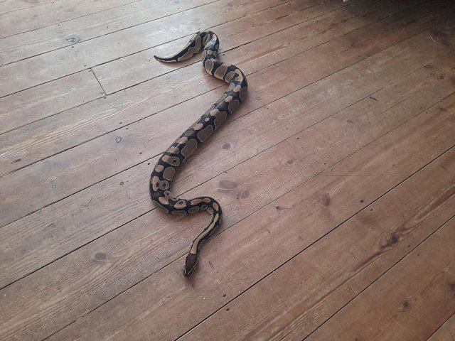 Image 4 of Ball Python - Three Years old for sale