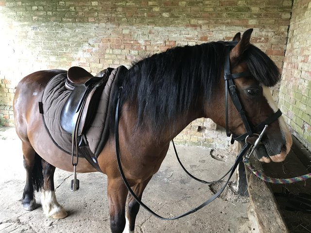 """Preview of the first image of Horse share 13""""1 Welsh gelding Bedford area."""
