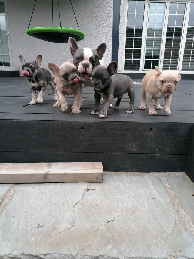 Image 3 of French bulldog puppies available