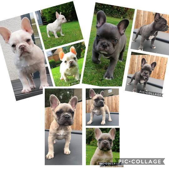 Image 4 of French bulldog puppies available
